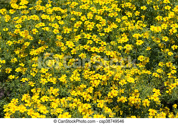 Yellow Flower Bush Many Yellow Spring Flowers