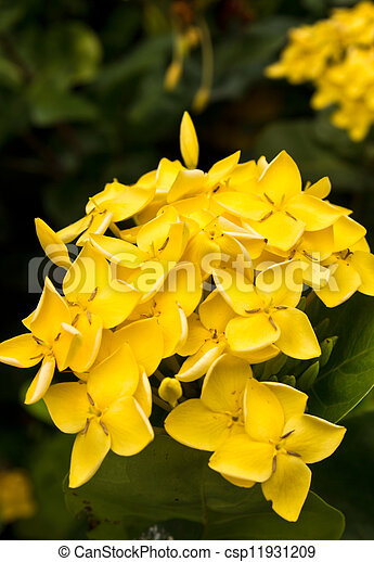 Yellow Flower Close Up West Indian Jasmineientific Name Ixora