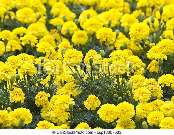 Yellow Flower, Marigold in the garden - csp13007583