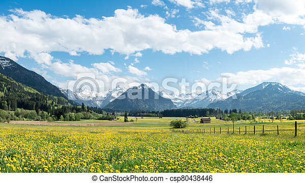 Yellow flower meadow with snow covered mountains and traditional wooden barns. Bavaria, Alps, Allgau, Germany. - csp80438446