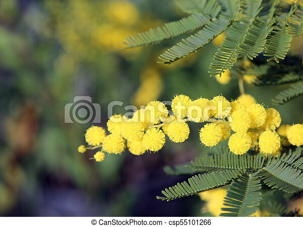 Yellow flower of mimosa blossomed in early spring symbol of yellow flower of mimosa blossomed in early spring symbol of international women day csp55101266 mightylinksfo