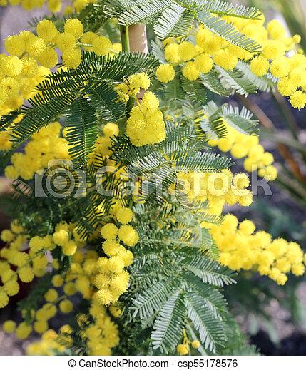 Yellow flower of mimosa plants symbol of idw many yellow flower of yellow flower of mimosa plants symbol of idw csp55178576 mightylinksfo
