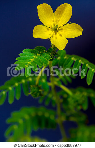 Yellow flower of small caltrops weed yellow flower of small caltrops weed csp53887977 mightylinksfo
