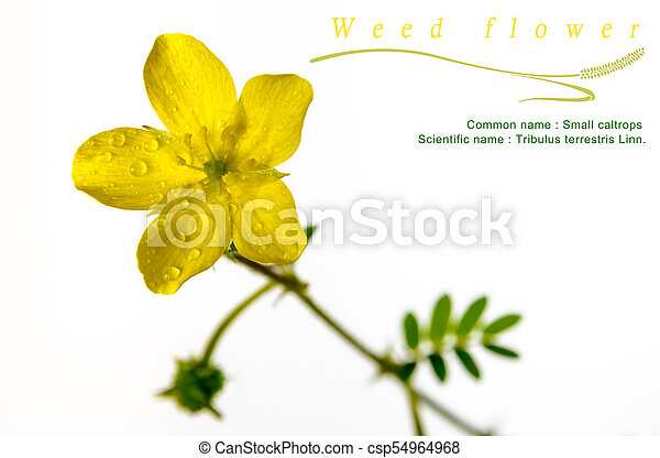 Yellow flower of small caltrops weed isolated flower on white yellow flower of small caltrops weed isolated flower on white background csp54964968 mightylinksfo