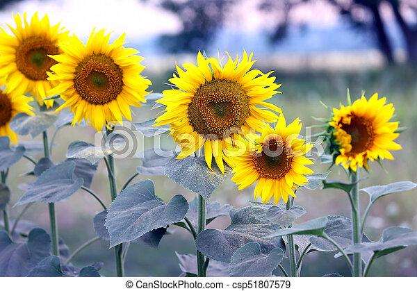yellow flower of sunflower in a field closeup - csp51807579