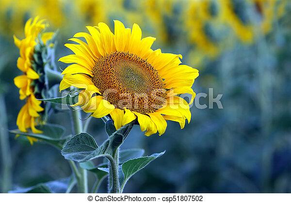 yellow flower of sunflower in a field closeup - csp51807502