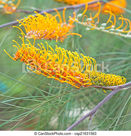 Yellow flower of the grevillea plant native to australia yellow flower of the grevillea plant native to australia csp21631563 mightylinksfo