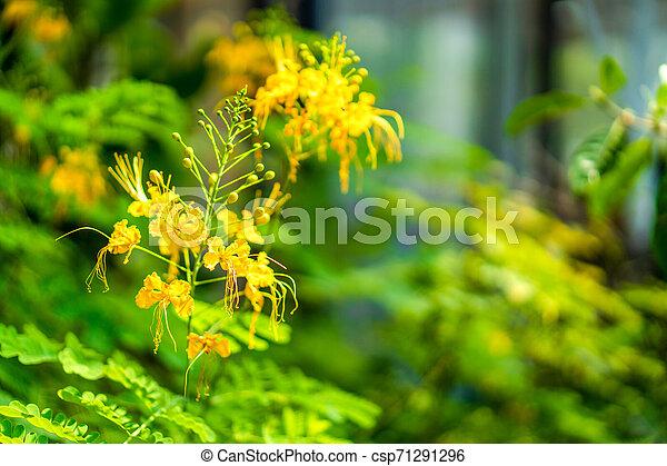 Yellow flower on the green blur leaf background in the garden. - csp71291296
