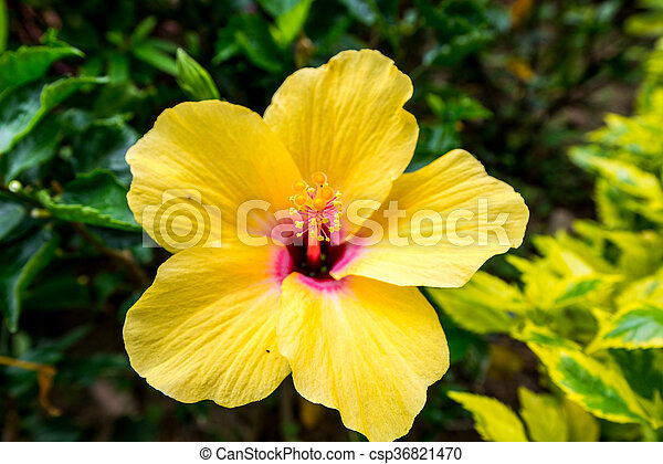 Yellow flower in hong kong with five petals picture search photo yellow flower csp36821470 mightylinksfo