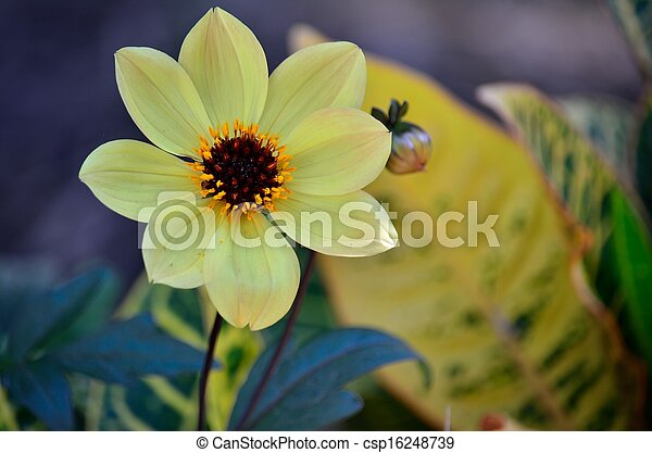 Yellow flower with brown center a light yellow flower with a brown yellow flower with brown center csp16248739 mightylinksfo