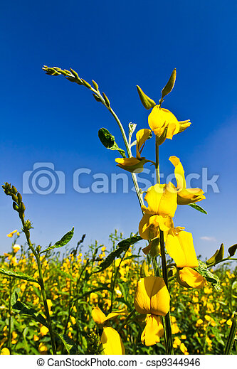 Yellow Flowers and blue sky - csp9344946