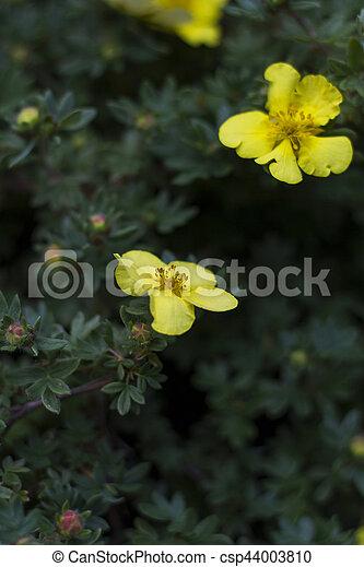 Yellow flowers dasiphora fruticosa potentilla fruticosa flowers yellow flowers dasiphora fruticosa potentilla fruticosa flowers csp44003810 mightylinksfo