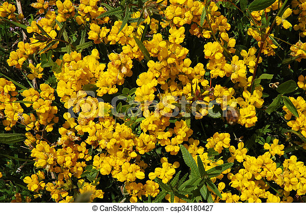 Yellow flowers in a meadow - csp34180427