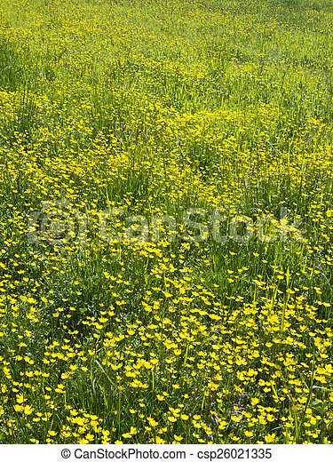 yellow flowers in a spring meadow - csp26021335