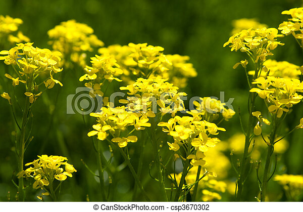 Yellow flowers in spring - csp3670302