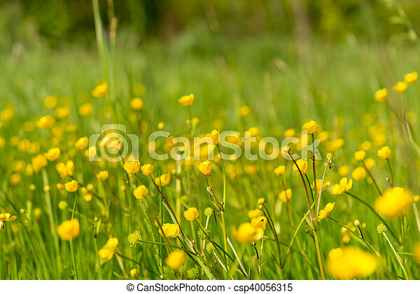 yellow flowers in the spring meadow - csp40056315