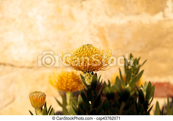 Yellow flowers of a pincushion protea leucospermum succulent yellow flowers of a pincushion protea leucospermum succulent plant csp43762071 mightylinksfo