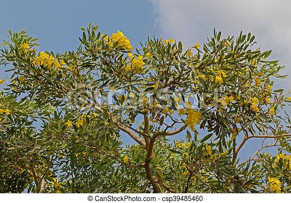 Yellow flowers of huge caribbean trumpet tree grown in thailand yellow flowers of huge caribbean trumpet tree grown in thailand csp39485460 mightylinksfo