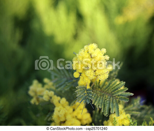 Yellow flowers of mimosa acacia tree in spring yellow flowers of mimosa acacia tree csp25701240 mightylinksfo
