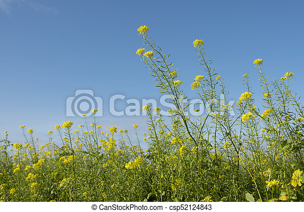Yellow flowers of mustard seed in field with blue sky yellow flowers of mustard seed in field csp52124843 mightylinksfo