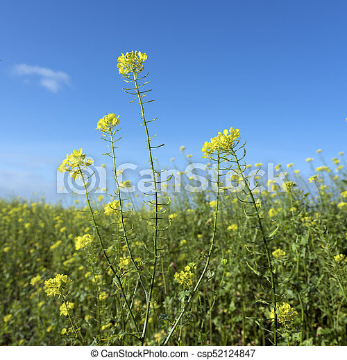 Yellow flowers of mustard seed in field with blue sky yellow flowers of mustard seed in field csp52124847 mightylinksfo