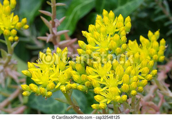 Yellow flowers of sedum stonecrop closeup photo of star shaped yellow flowers of sedum stonecrop csp32548125 mightylinksfo