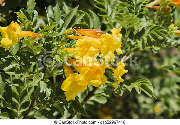 Yellow flowers of shrub tecoma from in the trumpet vine family yellow flowers of shrub tecoma from in the trumpet vine family tecoma alata mightylinksfo