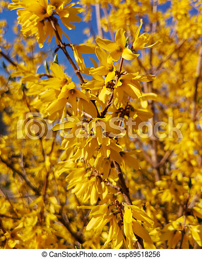 Yellow flowers on a tree in spring - csp89518256