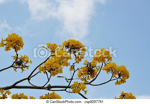 Yellow flowers tree yellow tabebuia tree in a south florida park yellow flowers tree csp9297761 mightylinksfo