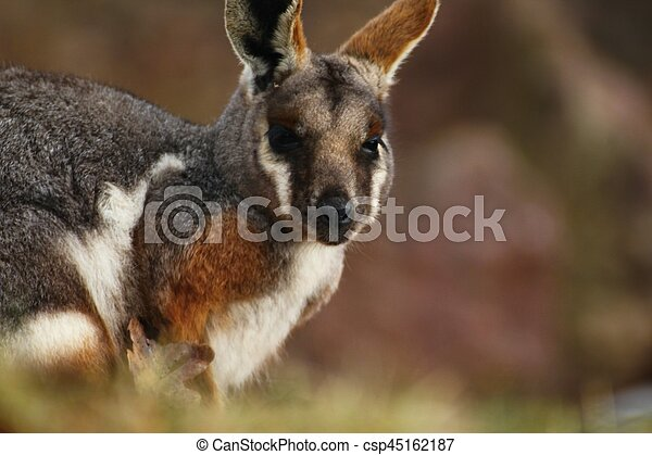 Yellow-footed rock-wallaby, kangaroo - csp45162187