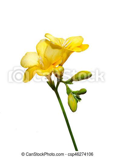 Yellow freesia flower close up isolated white background mightylinksfo