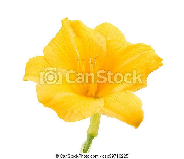 Fresh yellow freesia flower on white background stock photo yellow freesia flower csp39716225 mightylinksfo