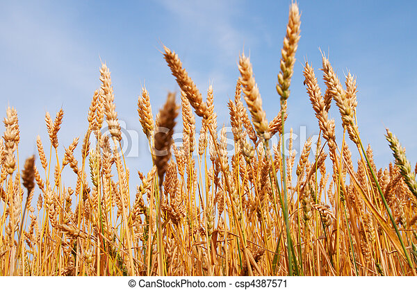 Yellow grain ready for harvest growing in a farm field - csp4387571