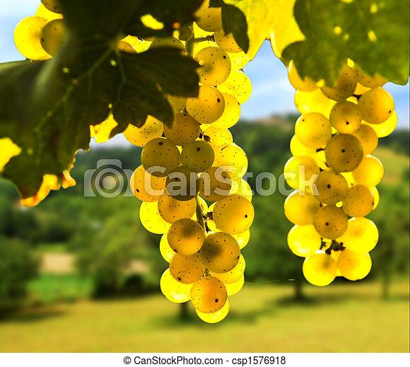Yellow grapes - csp1576918