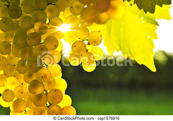 Yellow grapes - csp1576916