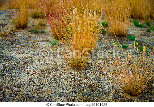 Yellow grass in the sand  - csp29101928