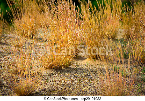 Yellow grass in the sand  - csp29101932
