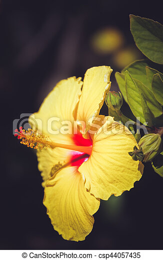 Yellow Hibiscus Flower Hibiscus Flower Photographed In Botanical