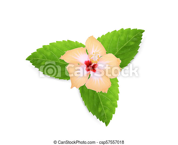 yellow hibiscus or chaba flower with green leaves isolated on white background - csp57557018