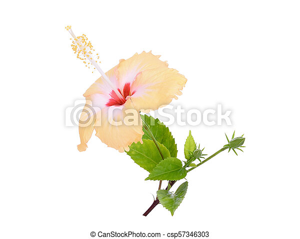 yellow hibiscus or chaba flower with green leaves isolated on white background - csp57346303
