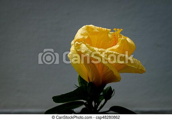 Yellow Hibiscus with white background - csp48280862