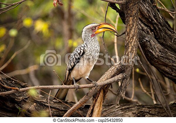 Yellow Hornbill - csp25432850