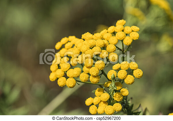 Medicinal herbs yellow inflorescences of tansy flowers tanacetum medicinal herbs yellow inflorescences of tansy flowers tanacetum vulgare mightylinksfo