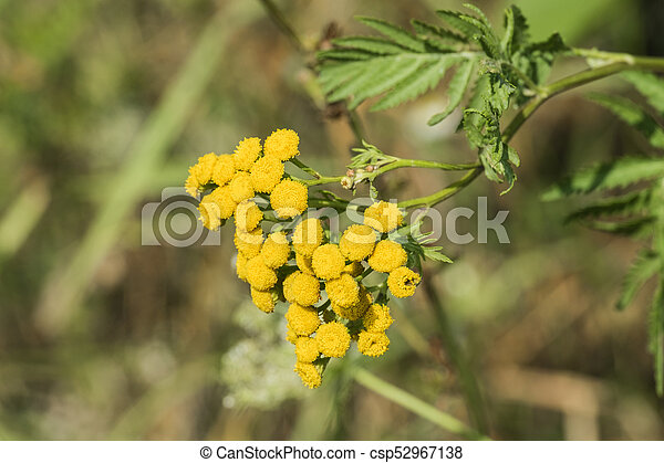 Medicinal Herbs Yellow Inflorescences Of Tansy Flowers Tanacetum