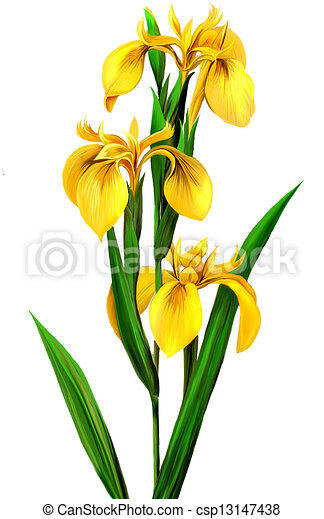 Yellow Iris Isolated Realistic Illustration On White Background Canstock