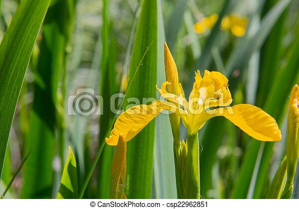 yellow iris in water - csp22962851