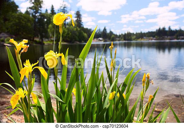 Yellow Iris Patch on the Beach - csp70123604