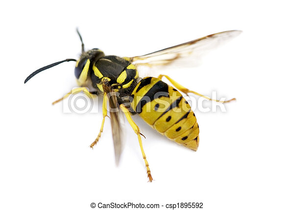 Yellow Jacket Wasp - csp1895592