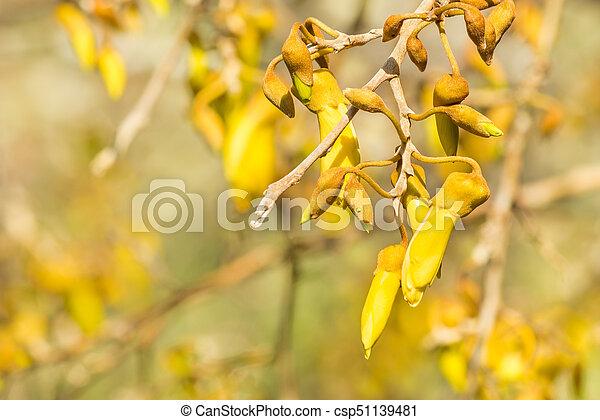 yellow kowhai tree flowers in bloom - csp51139481