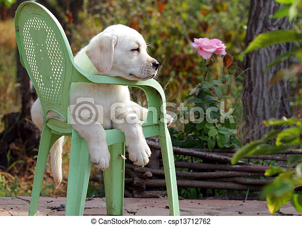 yellow labrador puppy in the garden - csp13712762